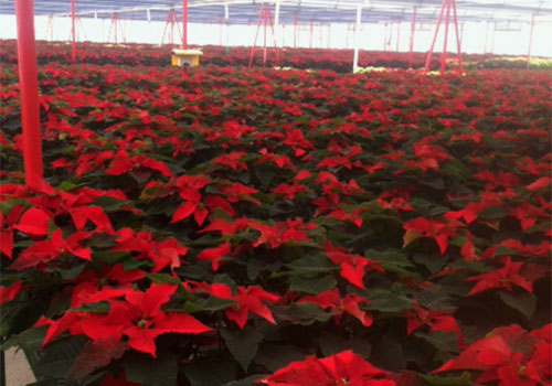 See more than 12,000 poinsettias grown annually Directions to Tom Strain & Sons Farm Market and Garden Center, 5041 Hill Avenue, Toledo, Ohio